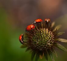 Ladybug March by DavidBerry