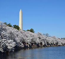 The Washington Monument and the National Cherry Blossoms - Washington D.C. by Matsumoto