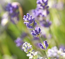 Lavender sprigs by natalies