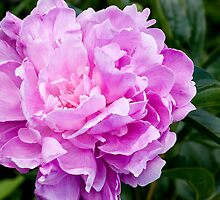 Pink Peony by natalies