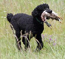 Beautiful Portuguese Water Dog by welovethedogs