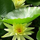 Water Lillies by medley