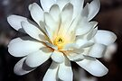 Star Magnolia by Rachel Stickney