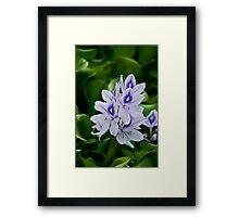 Water Hyacinth Framed Print