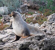 'Australian Sea Lion' by Ian Berry