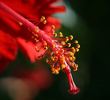Close up in red by faulsey