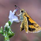 Moth feeding from flower by Richard Majlinder