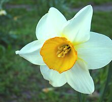 White Daffodil by Zoeiona