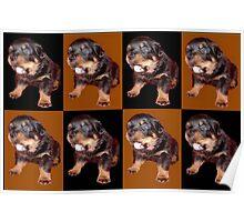 Rottweiler Pop Art Poster