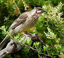 Wattle Bird by Hans Kawitzki