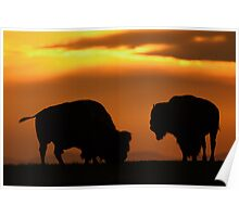 Bison Sunset Poster