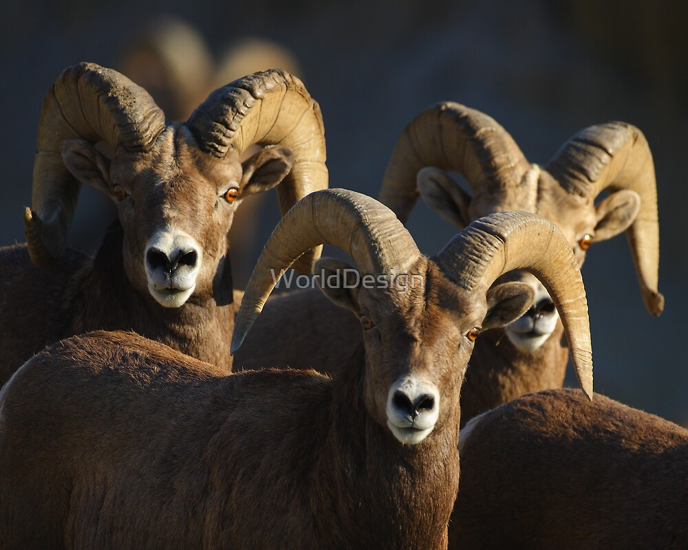 A Group of Rams by William C. Gladish