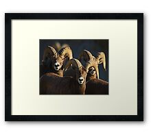 A Group of Rams Framed Print