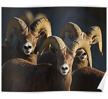 A Group of Rams Poster