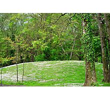 daisy hill woods Photographic Print