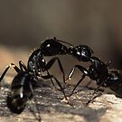 Ants Kissing by William C. Gladish