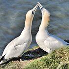 Gannets on Bempton Cliffs. by Lilian Marshall