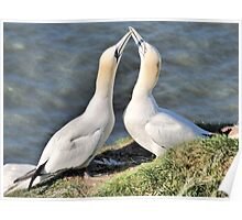 Gannets on Bempton Cliffs. Poster