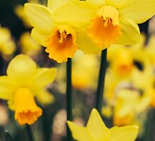 Yellow Daffodil Flowers by PatiDesigns