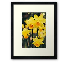 Yellow Daffodil Flowers Framed Print