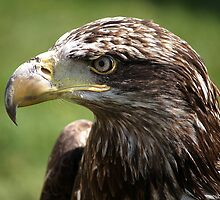 Juvenile Bald Eagle.  by Anthony Vella