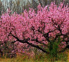 Peach Blossoms in the Rain by Rodney Williams