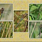 Large Dragonflies by Robert Abraham