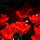 Skagit Valley Tulip Festival Panorama Four by Rick Lawler