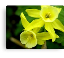 Miniature Daffodils Canvas Print