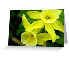 Miniature Daffodils Greeting Card