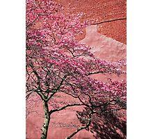 Flowering Cherry Photographic Print