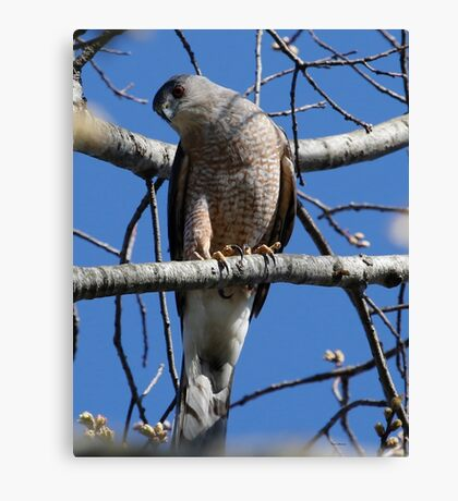 Cooper's Hawk Canvas Print