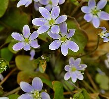 Hepatica by goddarb