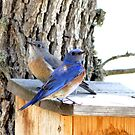 Pair of Blue Birds by SKNickel
