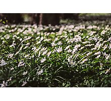 Wood Anemone Field Photographic Print