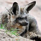Bat-eared Fox by Luci Mahon