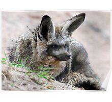 Bat-eared Fox Poster