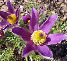 Pasque Flower 2 by Teresa Zieba