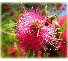 Bee and Red Bottle Brush Photographic Print