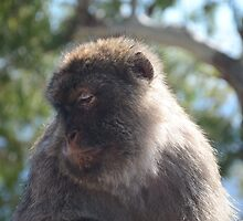 Wistful Barbary Ape by Malcolm Snook