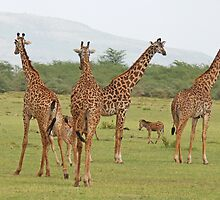The Long and the Short , Giraffes & Zebras, Lake Manyara National Park,Tanzania by Adrian Paul