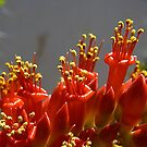 Ocotillo Flower  by David DeWitt