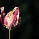 Sun-dried Tulip by Tracy Friesen