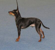 Unbelievable English Toy Terrier