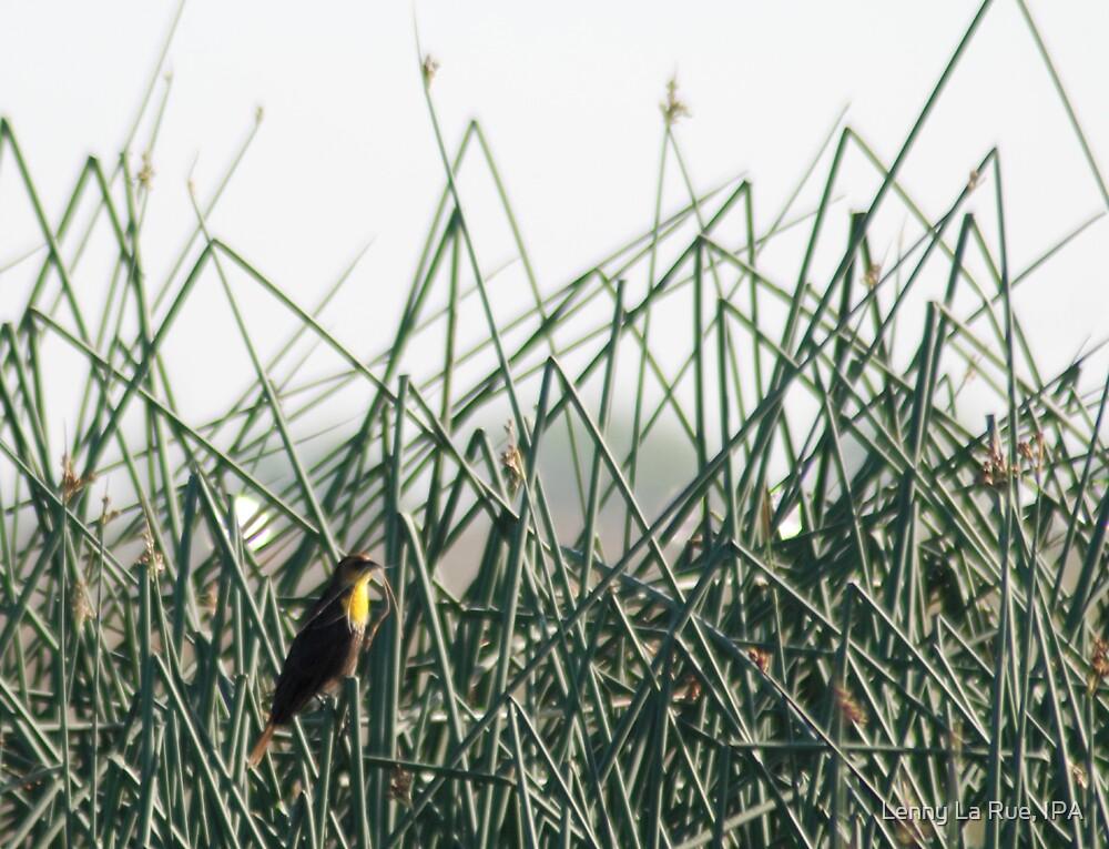 Yellow-breasted Blackbird by Lenny La Rue, IPA