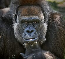A portrait of a Silverback II by joemc