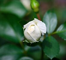Single White Rose by Christina Rollo