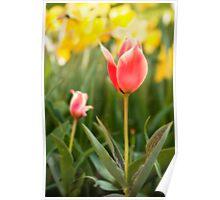 Garden Tulip Orton Poster