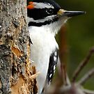 Hairy Woodpecker. Male by Tracy Wazny