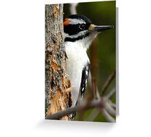 Hairy Woodpecker. Male Greeting Card
